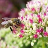 pszczoła grubosz zdjęcia stock