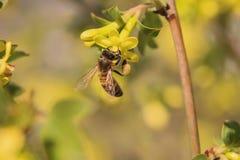 Pszczoła i agrestowy kwiat Zdjęcie Royalty Free
