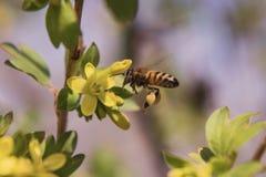 Pszczoła i agrestowy kwiat Fotografia Stock