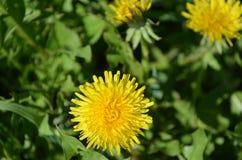 Pszczoła i dandelion Zdjęcia Stock