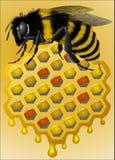 Pszczoła i honeycomb Obrazy Royalty Free