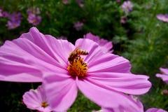 Pszczoła i kwiat Fotografia Stock
