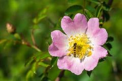 Pszczoła i kwiat zdjęcia stock