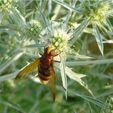 Pszczoła i kwiat Obrazy Royalty Free