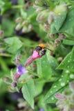 Pszczo?a i kwiat zdjęcia royalty free