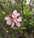 Pszczo?a i kwiat zdjęcia stock