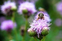 Pszczoła i kwiaty Fotografia Stock