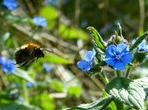 Pszczoła i kwiaty Zdjęcia Royalty Free