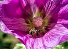 Pszczoła i petunia obrazy stock