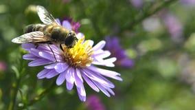 Pszczoła insekta obsiadanie na kwiacie makro- Obrazy Royalty Free