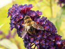 pszczoła kwiat Zdjęcie Royalty Free