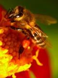 pszczoła kwiat Zdjęcie Stock