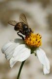 Pszczoła & kwiat Zdjęcie Royalty Free