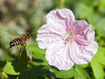 pszczoła kwiat Fotografia Stock
