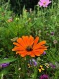 Pszczoła & kwiat Obraz Royalty Free