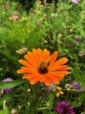 Pszczoła & kwiat fotografia stock