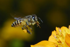pszczoła kwiaty Obrazy Royalty Free