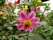 pszczoła kwiaty obraz royalty free