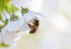 pszczoła kwitnie biel Obraz Royalty Free