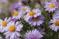 Pszczoła lata Zdjęcie Royalty Free