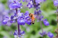 Pszczoła lata kwiat Obrazy Stock