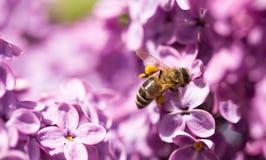 Pszczoła lata na kwiatach bez Obrazy Royalty Free