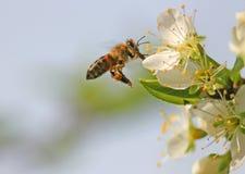 pszczoła lotu Obrazy Stock