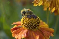 pszczoła mamrocze Obrazy Royalty Free