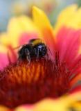 pszczoła mamrocze Zdjęcia Royalty Free