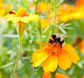 pszczoła mamrocze Obraz Royalty Free