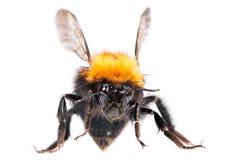 pszczoła mamrocze Zdjęcie Royalty Free