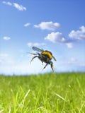 pszczoła mamrocze Zdjęcia Stock