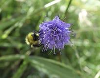 pszczoła mamrocze Zdjęcie Stock