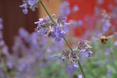 pszczoła mamrocze karmienie Fotografia Royalty Free