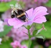 pszczoła mamrocze karmienie Zdjęcie Royalty Free