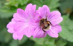 pszczoła mamrocze karmienie Zdjęcia Stock