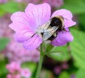 pszczoła mamrocze karmienie Obrazy Stock