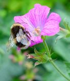 pszczoła mamrocze karmienie Obraz Stock