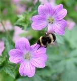 pszczoła mamrocze karmienie Obrazy Royalty Free