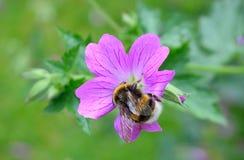 pszczoła mamrocze karmienie Zdjęcia Royalty Free