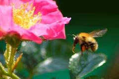 pszczoła mamrocze karmienie Obraz Royalty Free