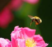 pszczoła mamrocze karmienie Fotografia Stock