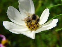 pszczoła mamrocze kwiatu Zdjęcie Stock