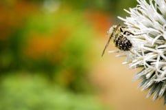 pszczoła mamrocze samopylnego Zdjęcie Royalty Free