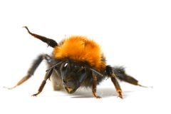 pszczoła mamrocze taniec Obraz Royalty Free