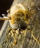 pszczoła miód Fotografia Stock