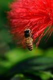pszczoła miód Zdjęcie Stock