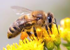 pszczoła miód Zdjęcia Royalty Free