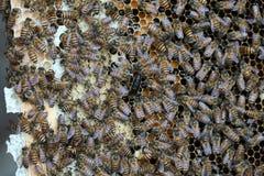 Pszczoła, Miodowa pszczoła/ Obraz Stock