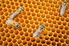 Pszczoła miodu komórki Fotografia Stock
